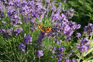 Lavender Flowers & Butterfly