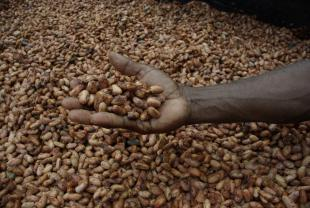 Cocoa Beans and a Hand Showing Them Off